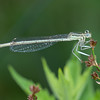 White-legged Damselfly, Platycnemis pennipes 5432