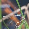 Emerald Damselfly, male, Lestes sponsa 5099