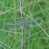 Golden-ringed Dragonfly, Cordulegaster boltonii 5241
