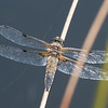 Four-spotted Chaser, Libellula quadrimaculata 5061