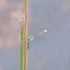 Emerald Damselfly, male, Lestes sponsa 5160