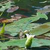 Azure Damselflies mating, Coenagrion puella 5582