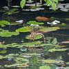 Brown Hawker, female laying, Aeshna grandis 5437