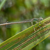 White-legged Damselfly, Platycnemis pennipes 5409