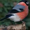 Bullfinch, Pyrrhula pyrrhula 8539