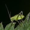 Speckled Bush Cricket nymph, Leptophyes punctatissima 9893