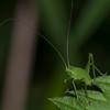 Speckled Bush Cricket nymph, Leptophyes punctatissima 9875