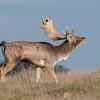 Fallow Deer, Dama dama 8767