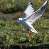 Black-headed Gull hovering, Chroicocephalus ridibundus 3827