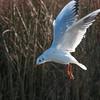 Black-headed Gull hovering, Chroicocephalus ridibundus 3781