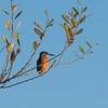 Kingfisher, Alcedo atthis 3926