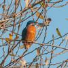 Kingfisher, Alcedo atthis 3880