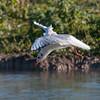Black-headed Gull hovering, Chroicocephalus ridibundus 3797