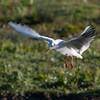 Black-headed Gull hovering, Chroicocephalus ridibundus 3825