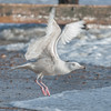 Glaucous Gull, Larus hyperboreus 8638