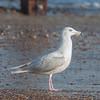 Glaucous Gull, Larus hyperboreus 8637