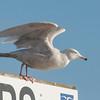 Glaucous Gull, Larus hyperboreus 9141