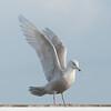 Glaucous Gull, Larus hyperboreus 8662