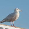 Glaucous Gull, Larus hyperboreus 9130