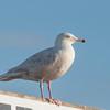Glaucous Gull, Larus hyperboreus 9106