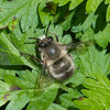 Hairy-footed Flower Bee, Anthophora plumipes 0038