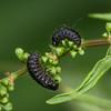 Green Dock Beetle larva, Gastrophysa viridula 8188