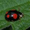 Harlequin Ladybird, Harmonia axyridis spectabilis 8223