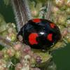 Harlequin Ladybird, Harmonia axyridis spectabilis 8226