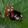 Harlequin Ladybirds mating, Harmonia axyridis spectabilis female 8222