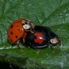 Harlequin Ladybirds mating, Harmonia axyridis spectabilis female 8221