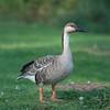 Swan Goose, Anser cygnoides 4115