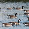 Canada Goose, Branta canadensis 3718