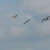 Canada Geese in flight, Branta canadensis 3753