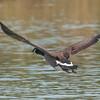 Canada Goose, Branta canadensis 4262