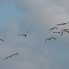 Canada Geese in flight, Branta canadensis 3754