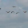 Canada Geese in flight, Branta canadensis 3752