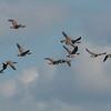Canada Geese in flight, Branta canadensis 3747