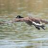 Canada Goose, Branta canadensis 4260