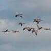 Canada Geese in flight, Branta canadensis 3748