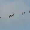 Greylag Goose, Anser anser 3759