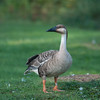 Swan Goose, Anser cygnoides 4119