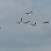 Canada Geese in flight, Branta canadensis 3751