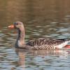 Greylag Goose, Anser anser 4217