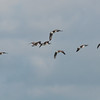 Canada Geese in flight, Branta canadensis 3750