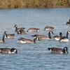 Canada Goose, Branta canadensis 3710