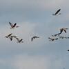 Canada Geese in flight, Branta canadensis 3749