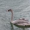 Trumpeter Swan and cygnet, Cygnus buccinator 8902
