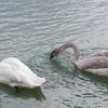 Trumpeter Swan and cygnet, Cygnus buccinator 8900