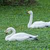Bewick's Swan, Cygnus columbianus 8973