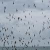 murmuration of Starlings, Sturnus vulgaris 8759